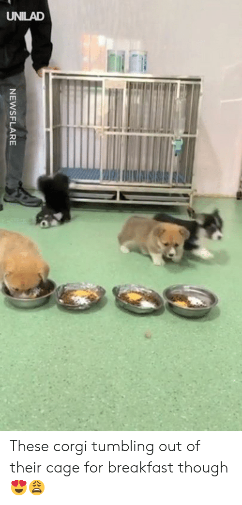 Corgi, Dank, and Breakfast: NEWSFLARE These corgi tumbling out of their cage for breakfast though 😍😩