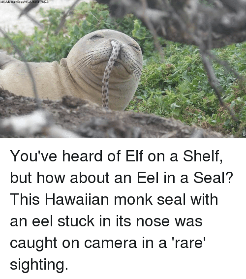 Elf, Memes, and Camera: NOAA/Brittany Dolan/NOAA Permit 16632-0 You've heard of Elf on a Shelf, but how about an Eel in a Seal? This Hawaiian monk seal with an eel stuck in its nose was caught on camera in a 'rare' sighting.