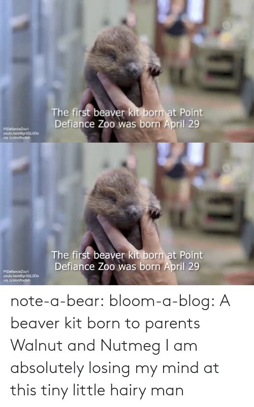 born: note-a-bear: bloom-a-blog:  A beaver kit born to parents Walnut and Nutmeg   I am absolutely losing my mind at this tiny little hairy man