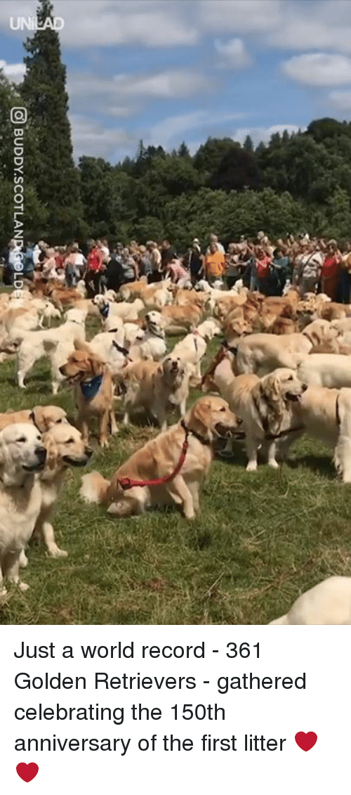 Dank, Record, and World: O BUDDY.SCOTLAN  pa,L Just a world record - 361 Golden Retrievers - gathered celebrating the 150th anniversary of the first litter ❤️❤️