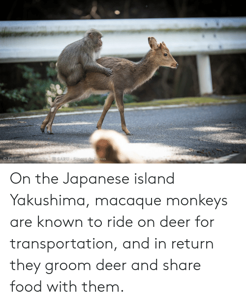 Share Food: O Editions Issekinicho-  SARU-Singes du Japon On the Japanese island Yakushima, macaque monkeys are known to ride on deer for transportation, and in return they groom deer and share food with them.