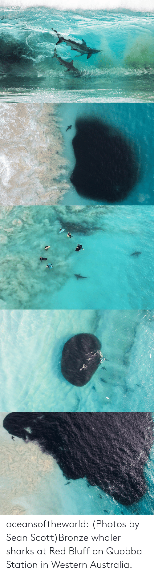 Facebook, Tumblr, and Shark: oceansoftheworld:  (Photos by Sean Scott)Bronze whaler sharks at   Red Bluff on Quobba Station in Western Australia.