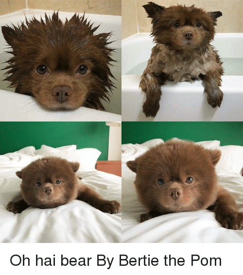 Dank, Bear, and 🤖: Oh hai bear  By Bertie the Pom
