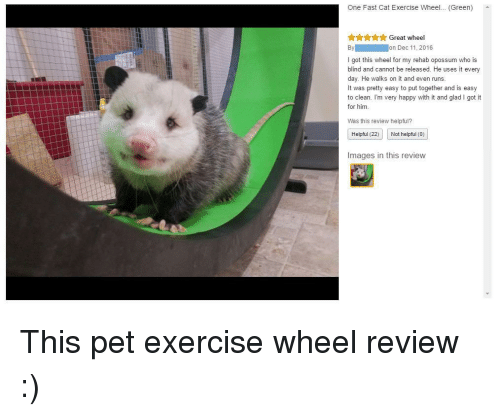 Exercise, Happy, and Images: One Fast Cat Exercise Wheel... (Green)  AAYAGreat wheel  I got this wheel for my rehab opossum who is  blind and cannot be released. He uses it every  day. He walks on it and even runs  It was pretty easy to put together and is easy  to clean. I'm very happy with it and glad I got it  for him.  Was this review helpful?  Helpful (22) Not helpful (0)  Images in this review <p>This pet exercise wheel review :)</p>