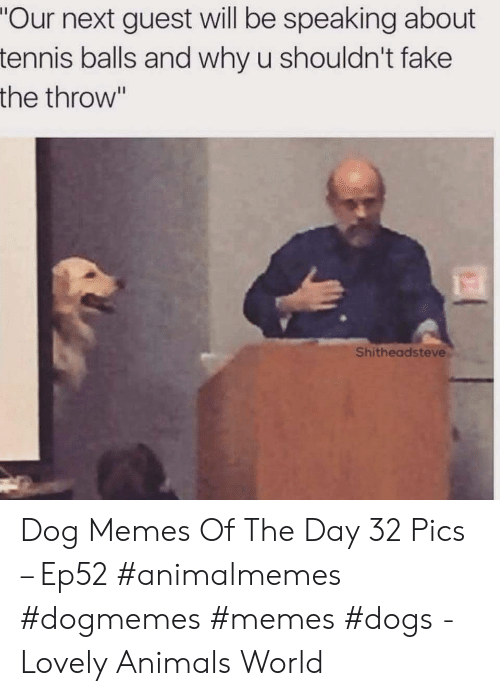 """Animals, Dogs, and Fake: """"Our next guest will be speaking about  tennis balls and why u shouldn't fake  the throw""""  Shitheadsteve Dog Memes Of The Day 32 Pics – Ep52 #animalmemes #dogmemes #memes #dogs - Lovely Animals World"""