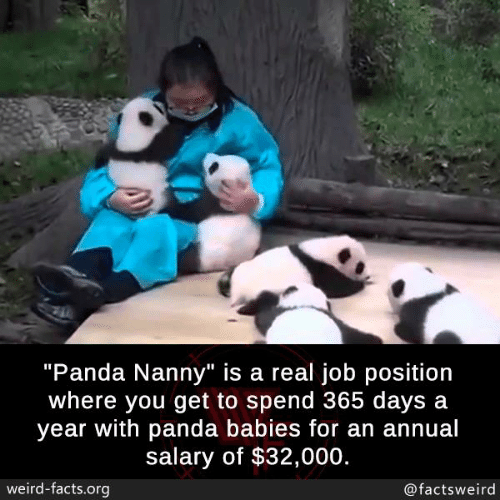 """Facts, Memes, and Weird: """"Panda Nanny"""" is a real job position  where you get to spend 365 days a  year with panda babies for an annual  salary of $32,000.  weird-facts.org  @factsweird"""