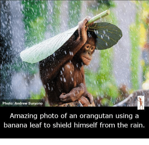 –¡: Photo: Andrew Suryono  Amazing photo of an orangutan using a  banana leaf to shield himself from the rain.