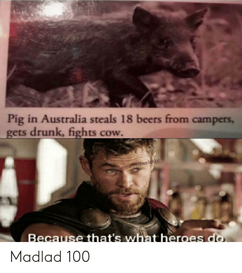 Drunk, Australia, and Heroes: Pig in Australia steals 18 beers from campers,  gets drunk, fights cow.  G Cherealoweweloske  Because that's what heroes do Madlad 100