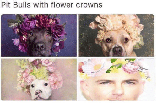 Bulls, Flower, and Pit: Pit Bulls with flower crowns