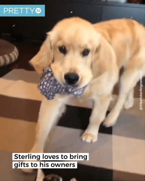 Dank, 🤖, and Sterling: PRETTY  52  Sterling loves to bring  gifts to his owners  @lifeofsterlingnewton