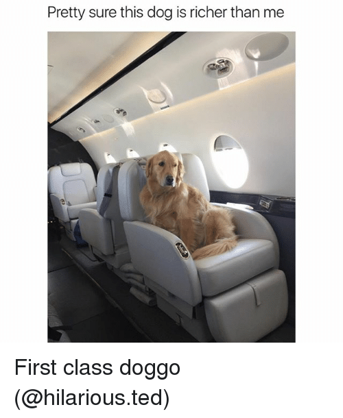 firstly: Pretty sure this dog is richer than me First class doggo (@hilarious.ted)