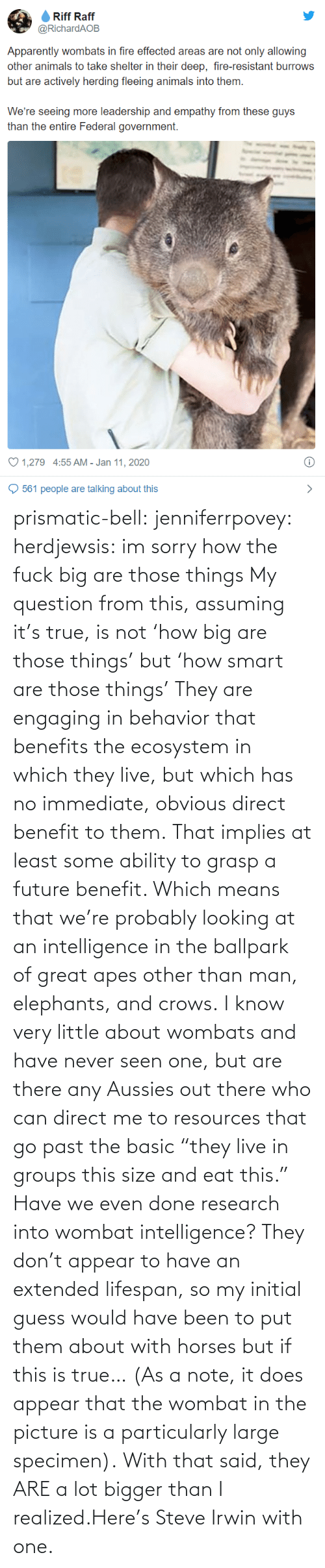 "question: prismatic-bell:  jenniferrpovey: herdjewsis: im sorry how the fuck big are those things My question from this, assuming it's true, is not 'how big are those things' but 'how smart are those things' They are engaging in behavior that benefits the ecosystem in which they live, but which has no immediate, obvious direct benefit to them. That implies at least some ability to grasp a future benefit. Which means that we're probably looking at an intelligence in the ballpark of great apes other than man, elephants, and crows. I know very little about wombats and have never seen one, but are there any Aussies out there who can direct me to resources that go past the basic ""they live in groups this size and eat this."" Have we even done research into wombat intelligence? They don't appear to have an extended lifespan, so my initial guess would have been to put them about with horses but if this is true… (As a note, it does appear that the wombat in the picture is a particularly large specimen).  With that said, they ARE a lot bigger than I realized.Here's Steve Irwin with one."