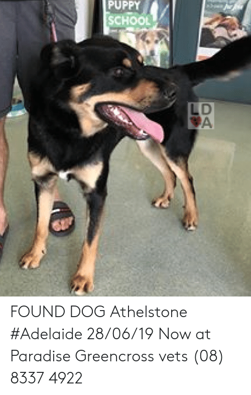 Memes, Paradise, and School: PUPPY  SCHOOL  LD  A FOUND DOG Athelstone #Adelaide 28/06/19 Now at Paradise Greencross vets (08) 8337 4922