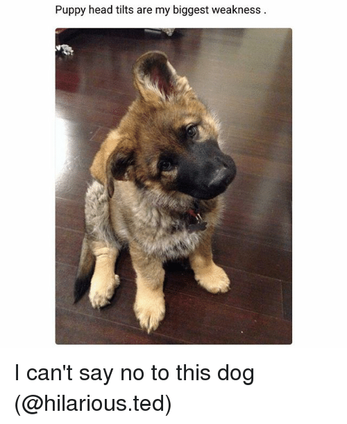 Dogs, Funny, and Head: py head Puppy head tilts are my biggest  weakness I can't say no to this dog (@hilarious.ted)