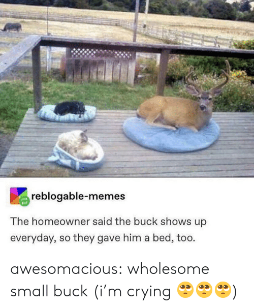 Crying, Memes, and Tumblr: reblogable-memes  The homeowner said the buck shows up  everyday, so they gave him a bed, too. awesomacious:  wholesome small buck (i'm crying 🥺🥺🥺)