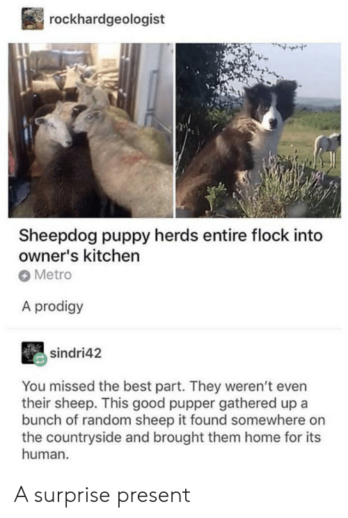 Best, Good, and Home: rockhardgeologist  Sheepdog puppy herds entire flock into  owner's kitchen  Metro  A prodigy  sindri42  You missed the best part. They weren't even  their sheep. This good pupper gathered up a  bunch of random sheep it found somewhere on  the countryside and brought them home for its  human A surprise present