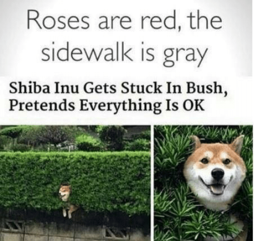 Shiba Inu, Red, and Bush: Roses are red, the  sidewalk is gray  Shiba Inu Gets Stuck In Bush,  Pretends Everything Is OK