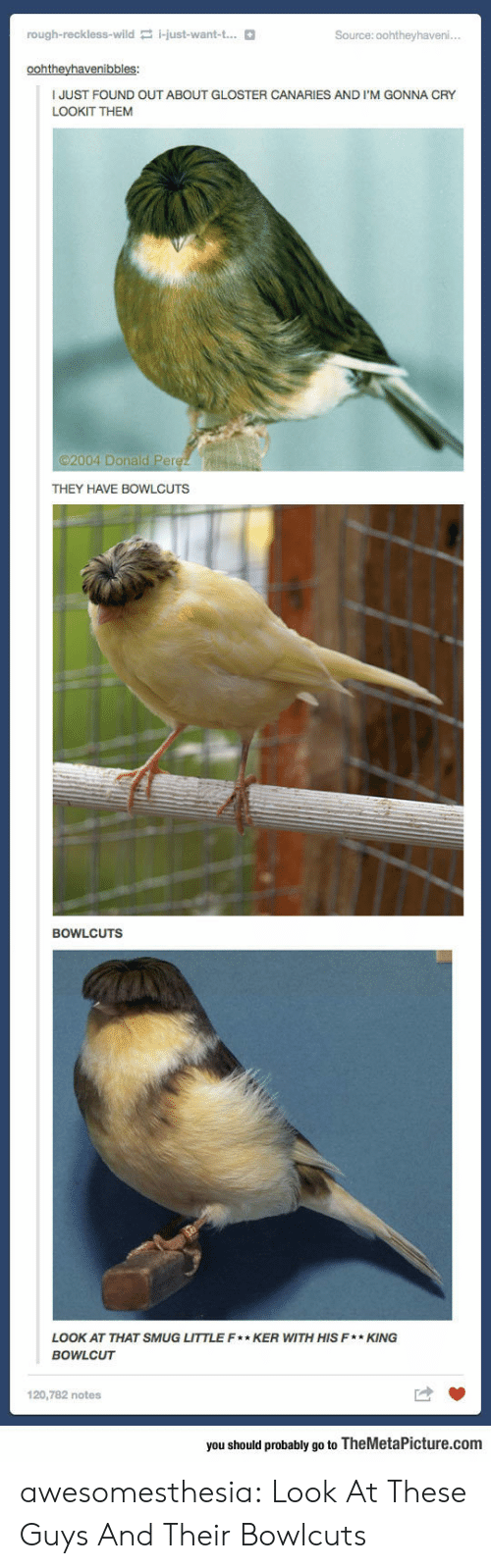 Tumblr, Blog, and Wild: rough-reckless-wild i-just-want-t...  Source: 0ohtheyhaveni..  oohtheyhavenibbles:  JUST FOUND OUT ABOUT GLOSTER CANARIES AND I'M GONNA CRY  LOOKIT THEM  2004 Donald Perez  THEY HAVE BOWLCUTS  BOWLCUTS  LOOK AT THAT SMUG LITTLE F* KER WITH HIS F*KING  BOWLCUT  120,782 notes  you should probably go to TheMetaPicture.com awesomesthesia:  Look At These Guys And Their Bowlcuts