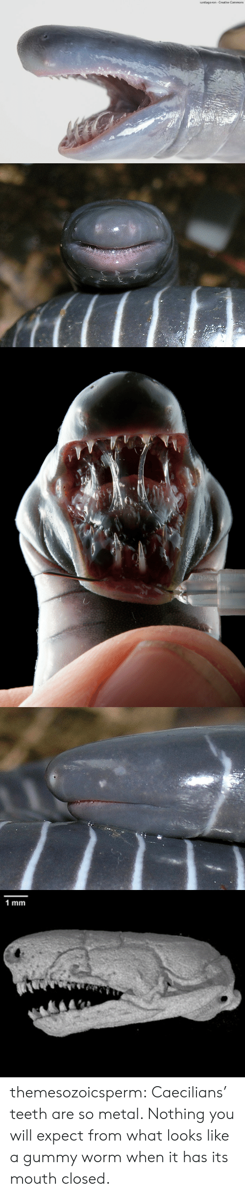 commons: santiago ron- Creative Commons   1 mm themesozoicsperm:  Caecilians' teeth are so metal. Nothing you will expect from what looks like a gummy worm when it has its mouth closed.