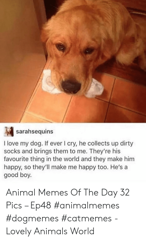 Animals, Love, and Memes: sarahsequins  I love my dog. If ever I cry, he collects up dirty  socks and brings them to me. They're his  favourite thing in the world and they make him  happy, so they'll make me happy too. He's a  good boy. Animal Memes Of The Day 32 Pics – Ep48 #animalmemes #dogmemes #catmemes - Lovely Animals World