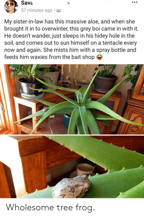 Grey, Tree, and Wholesome: Sava  57 minutes ago  My sister-in-law has this massive aloe, and when she  brought it in to overwinter, this grey boi came in with it.  He doesn't wander, just sleeps in his hidey hole in the  soil, and comes out to sun himself on a tentacle every  now and again. She mists him with a spray bottle and  feeds him waxies from the bait shop Wholesome tree frog.