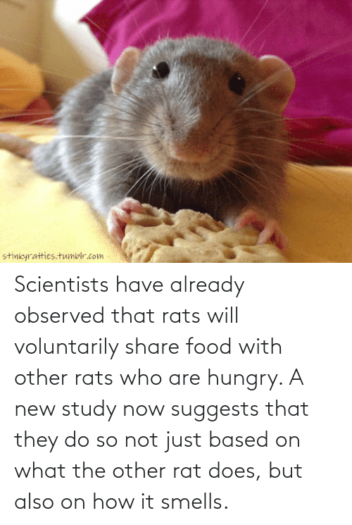 Share Food: Scientists have already observed that rats will voluntarily share food with other rats who are hungry. A new study now suggests that they do so not just based on what the other rat does, but also on how it smells.