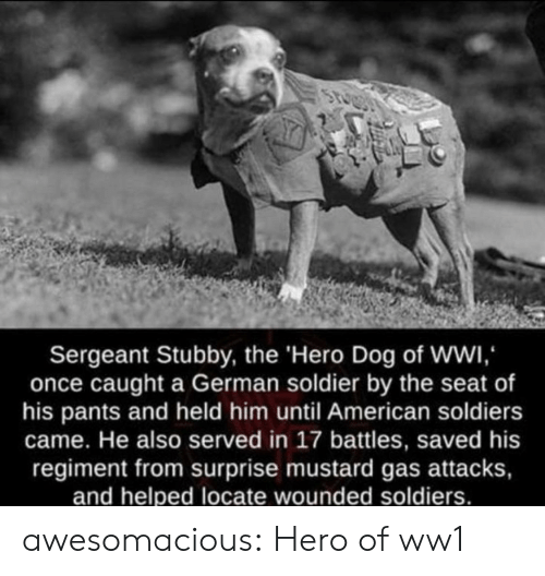 served: Sergeant Stubby, the 'Hero Dog of WWI,  once caught a German soldier by the seat of  his pants and held him until American soldiers  came. He also served in 17 battles, saved his  regiment from surprise mustard gas attacks,  and helped locate wounded soldiers. awesomacious:  Hero of ww1