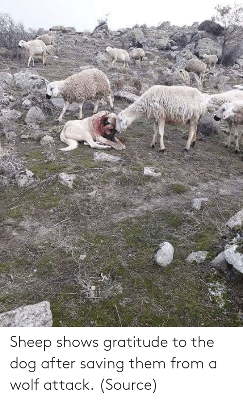 Dog: Sheep shows gratitude to the dog after saving them from a wolf attack.(Source)