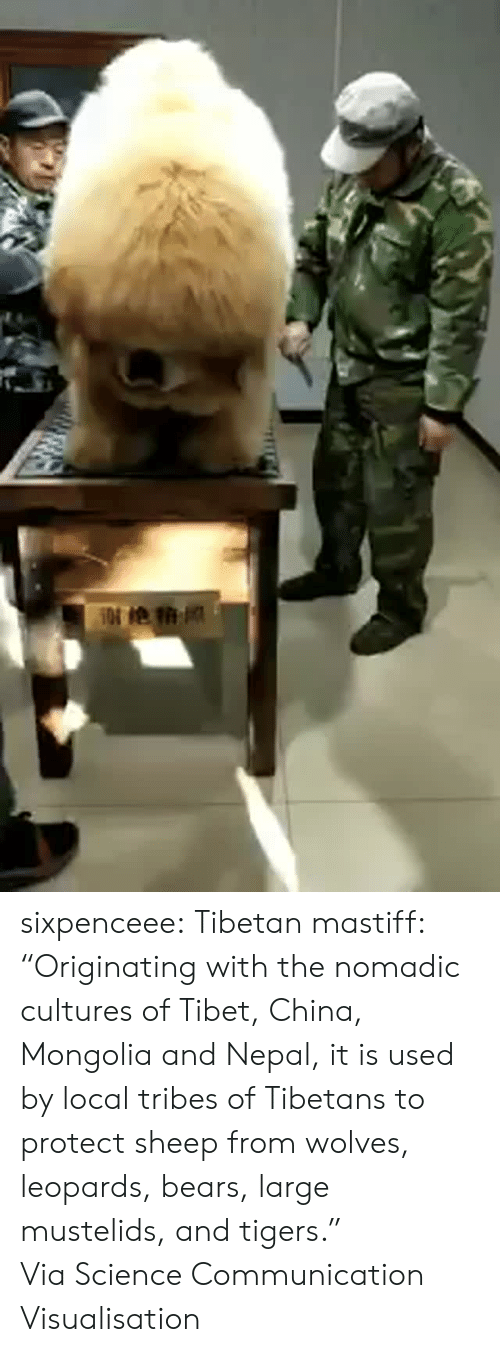 "Facebook, Tumblr, and China: sixpenceee:  Tibetan mastiff: ""Originating with the nomadic cultures of Tibet, China, Mongolia and Nepal, it is used by local tribes of Tibetans to protect sheep from wolves, leopards, bears, large mustelids, and tigers."" Via Science Communication  Visualisation"