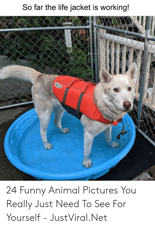 hound: So far the life jacket is working!  hound 24 Funny Animal Pictures You Really Just Need To See For Yourself - JustViral.Net