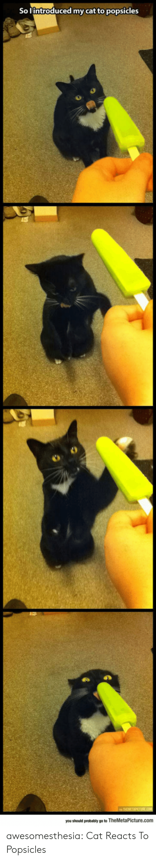 Tumblr, Blog, and Cat: So lintroduced my cat to popsicles  ww THEMETAPICTURE.cOM  you should probably go to TheMetaPicture.com awesomesthesia:  Cat Reacts To Popsicles