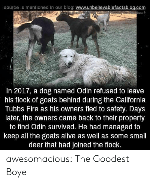 In 2017: source is mentioned in our blog: www.unbellevablefactsblog.com  aveebook  In 2017, a dog named Odin refused to leave  his flock of goats behind during the California  Tubbs Fire as his owners fled to safety. Days  later, the owners came back to their property  to find Odin survived. He had managed to  keep all the goats alive as well as some small  deer that had joined the flock. awesomacious:  The Goodest Boye