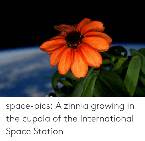 station: space-pics:  A zinnia growing in the cupola of the International Space Station