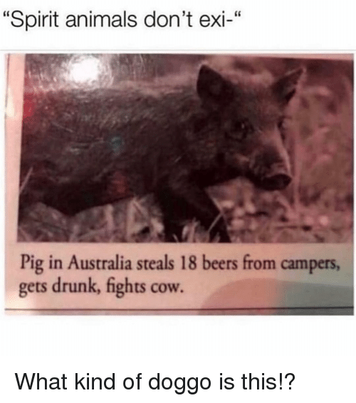 """Animals, Drunk, and Memes: """"Spirit animals don't exi-""""  Pig in Australia steals 18 beers from campers,  gets drunk, fights cow. What kind of doggo is this!?"""