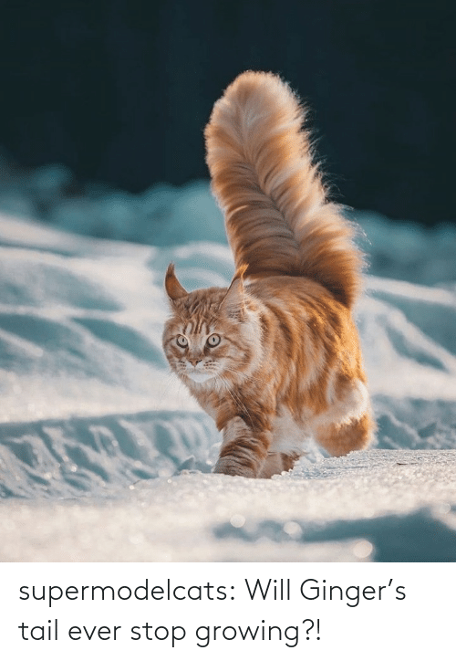 will: supermodelcats:  Will Ginger's tail ever stop growing?!