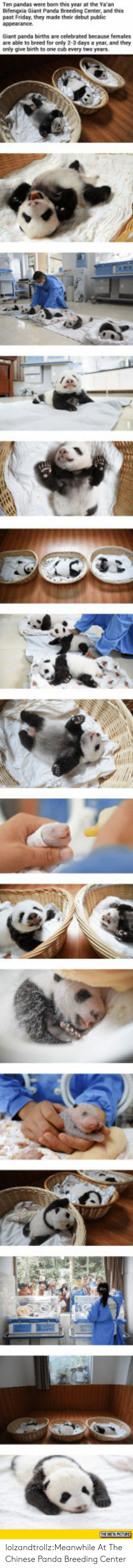 Friday, Tumblr, and Panda: Ten pandas were borm this year at the Ya'an  Bifengxia Giant Panda Breeding Center, and this  past Friday, they made their debut publi  Giant panda births are celebrated because females  are able to breed for only 2-3 days a year, and they  only give birth to one cub every two years lolzandtrollz:Meanwhile At The Chinese Panda Breeding Center