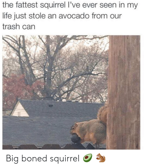 Life, Memes, and Trash: the fattest squirrel I've ever seen in my  life just stole an avocado from our  trash carn Big boned squirrel 🥑 🐿
