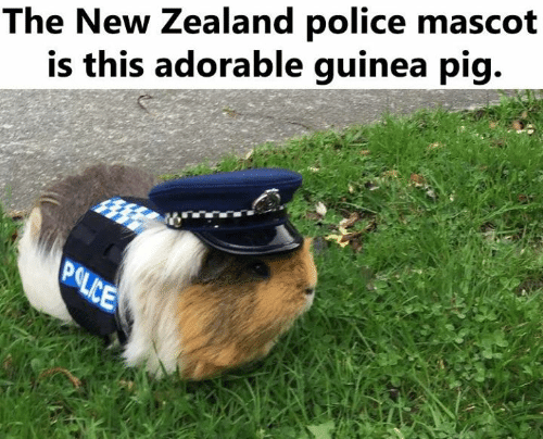 Police, Guinea Pig, and New Zealand: The New Zealand police mascot  is this adorable guinea pig.  POLICE