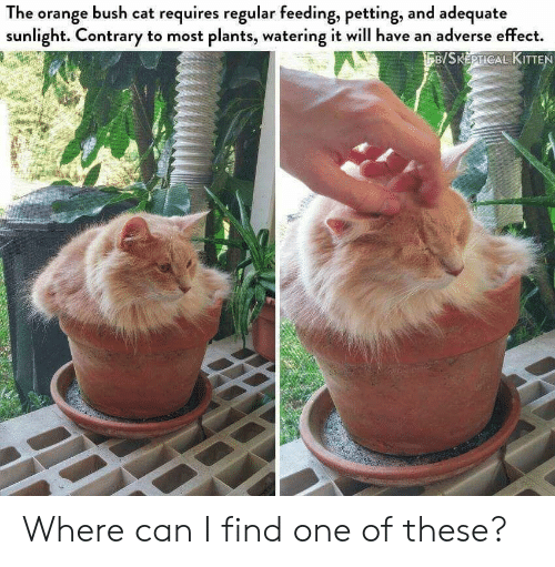 Orange, Cat, and Bush: The orange bush cat requires regular feeding, petting, and adequate  sunlight. Contrary to most plants, watering it will have an adverse effect.  B/SKEPTICAL KITTEN Where can I find one of these?