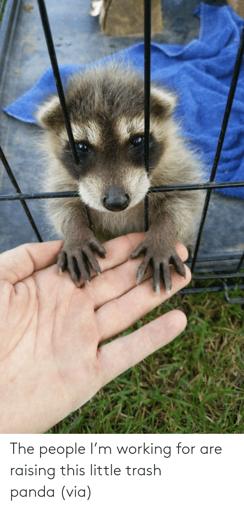 Im: The people I'm working for are raising this little trash panda(via)