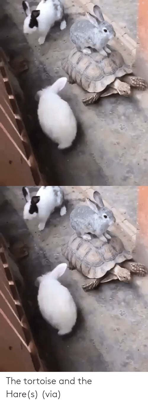Discover: The tortoise and the Hare(s)(via)