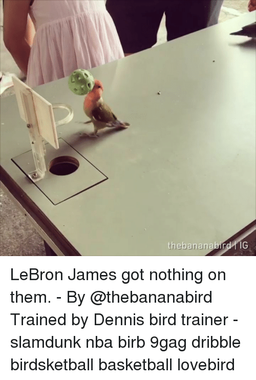 9gag, Basketball, and LeBron James: thebananabird IG LeBron James got nothing on them. - By @thebananabird Trained by Dennis bird trainer - slamdunk nba birb 9gag dribble birdsketball basketball lovebird