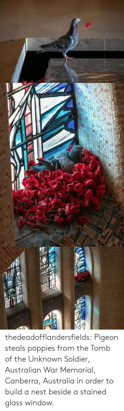 unknown: thedeadofflandersfields:  Pigeon steals poppies from the Tomb of the Unknown Soldier, Australian War Memorial, Canberra, Australia in order to build a nest beside a stained glass window.