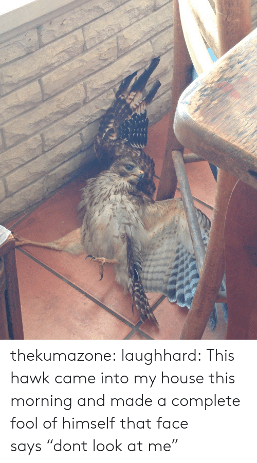 """that face: thekumazone:  laughhard:  This hawk came into my house this morning and made a complete fool of himself  that face says""""dont look at me"""""""