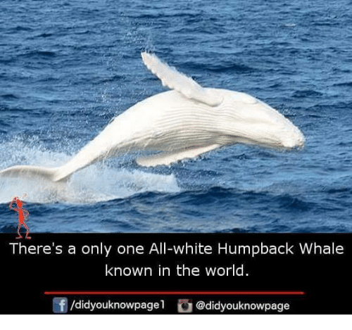 Memes, White, and World: There's a only one All-white Humpback Whale  known in the world  f/didyouknowpagel@didyouknowpage