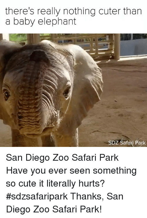 Cute, Memes, and Elephant: there's really nothing cuter than  a baby elephant  SDZ Safari Park San Diego Zoo Safari Park  Have you ever seen something so cute it literally hurts? #sdzsafaripark  Thanks, San Diego Zoo Safari Park!