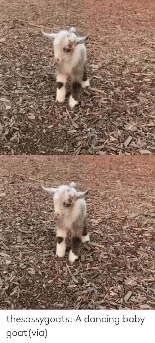 Baby: thesassygoats:  A dancing baby goat(via)