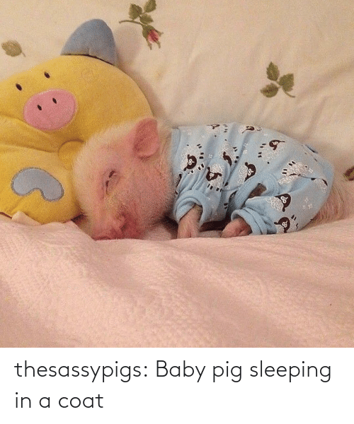 Baby: thesassypigs:  Baby pig sleeping in a coat