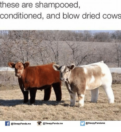 Blow Dried Cow
