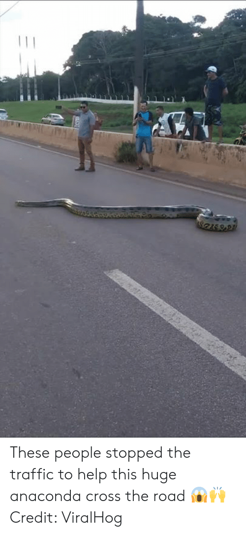 Anaconda, Traffic, and Cross: These people stopped the traffic to help this huge anaconda cross the road 😱🙌  Credit: ViralHog